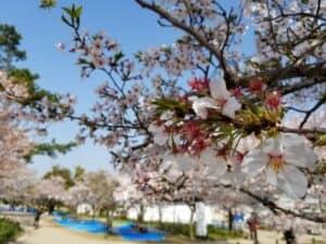 刈谷城の桜